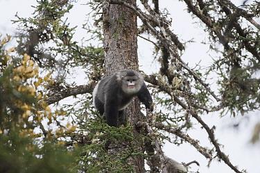Yunnan Snub-nosed Monkey (Rhinopithecus bieti) moving between trees, Mangkang, Tibet  -  Xi Zhinong