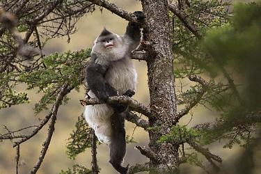 Yunnan Snub-nosed Monkey (Rhinopithecus bieti) male climbing tree, Mangkang, Tibet, China  -  Xi Zhinong