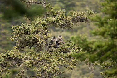 Yunnan Snub-nosed Monkey (Rhinopithecus bieti) pair sitting on a branch, Mangkang, Tibet, China  -  Xi Zhinong