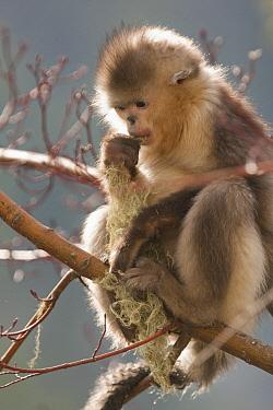Yunnan Snub-nosed Monkey (Rhinopithecus bieti) feeding on lichen, Baima Snow Mountain, Yunnan, China  -  Xi Zhinong