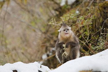Yunnan Snub-nosed Monkey (Rhinopithecus bieti) holding lichen, Baima Snow Mountain, Yunnan, China  -  Xi Zhinong