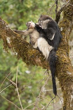Yunnan Snub-nosed Monkey (Rhinopithecus bieti) pair grooming, Baima Snow Mountain, Yunnan, China  -  Xi Zhinong