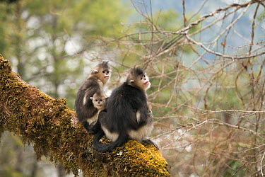 Yunnan Snub-nosed Monkey (Rhinopithecus bieti) family, Baima Snow Mountain, Yunnan, China  -  Xi Zhinong