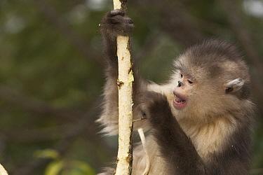 Yunnan Snub-nosed Monkey (Rhinopithecus bieti) peeling off bark to eat, Baima Snow Mountain, Yunnan, China  -  Xi Zhinong