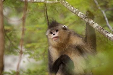 Yunnan Snub-nosed Monkey (Rhinopithecus bieti), Baima Snow Mountain, Yunnan, China  -  Xi Zhinong