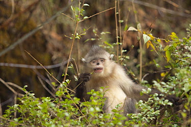 Yunnan Snub-nosed Monkey (Rhinopithecus bieti) feeding on young leaves, Baima Snow Mountain, Yunnan, China  -  Xi Zhinong