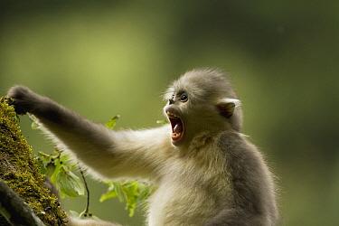 Yunnan Snub-nosed Monkey (Rhinopithecus bieti) foraging on lichen, Baima Snow Mountain, Yunnan, China  -  Xi Zhinong