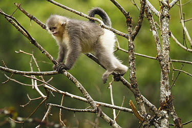 Yunnan Snub-nosed Monkey (Rhinopithecus bieti) climbing tree, Baima Snow Mountain, Yunnan, China  -  Xi Zhinong