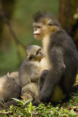 Yunnan Snub-nosed Monkey (Rhinopithecus bieti) baby nursing in its mother arms, Baima Snow Mountain, Yunnan, China  -  Xi Zhinong