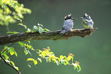 Crested Kingfisher (Megaceryle lugubris) juveniles, Shigaraki, Koga, Shiga, Japan  -  Shigeki Iimura/ Nature Productio