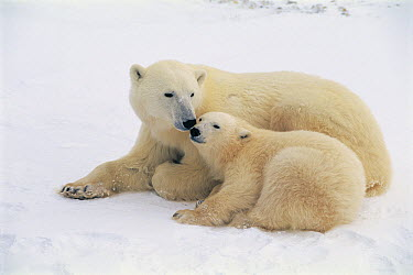 Polar Bear (Ursus maritimus) mother and cub huddling, Churchill, Canada  -  Toshiji Fukuda/ Nature Productio