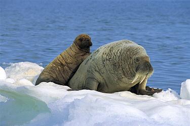 Atlantic Walrus (Odobenus rosmarus rosmarus) parent and calf on ice, Nunavut, Canada  -  Toshiji Fukuda/ Nature Productio