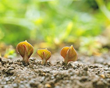 Chameleon-plant (Houttuynia cordata) shooting buds, Kyushu, Japan  -  Ciabou Hany/ Nature Production