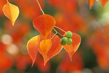 Chinese Tallow (Triadica sebifera) fruit, Japan  -  Takahisa Hirano/ Nature Producti