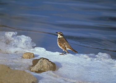 Naumann's Thrush (Turdus naumanni) at frozen lakeside, Lake Yamanaka, Japan  -  Kaoru Ishie/ Nature Production