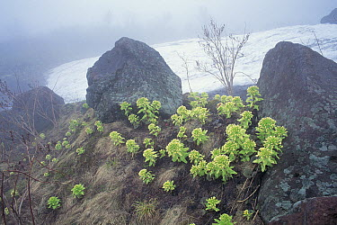 Japanese Sweet Coltsfoot (Petasites japonicus) growing gregariously on a slope in fog, Mount Chokai, Japan  -  Masashi Igari/ Nature Production