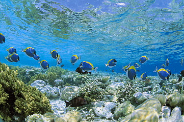 Powderblue Surgeonfish (Acanthurus leucosternon) school and coral reefs, Maldives  -  Yasuaki Kagii/ Nature Production