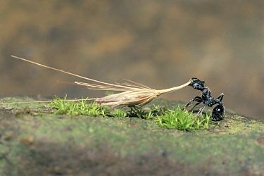 Harvester Ant (Messor aciculatus) dragging a Grass (Pennisetum alopecuroides) spike, Japan  -  Satoshi Kuribayashi/ Nature Prod