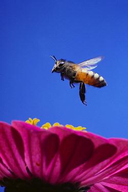 Honey Bee (Apis mellifera) flying over Elegant Zinnia (Zinnia elegans) flower, Hirado, Nagasaki, Japan  -  Satoshi Kuribayashi/ Nature Prod