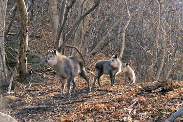 Japanese Serow (Capricornis crispus) group in the woods, Shimokita Peninsula, Aomori, Japan  -  Tetsuo Kinoshita/ Nature Product
