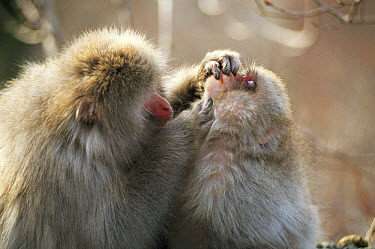 Japanese Macaque (Macaca fuscata) grooming its young, Shimokita Peninsula, Aomori, Japan  -  Tetsuo Kinoshita/ Nature Product