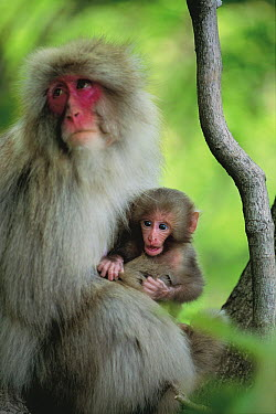 Japanese Macaque (Macaca fuscata) parent and young, Shimokita Peninsula, Aomori, Japan  -  Tetsuo Kinoshita/ Nature Product