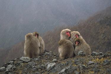 Japanese Macaque (Macaca fuscata) huddling together in snowfall, Shimokita Peninsula, Aomori, Japan  -  Tetsuo Kinoshita/ Nature Product