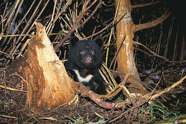Asiatic Black Bear (Ursus thibetanus) cub, Shimokita Peninsula, Aomori, Japan  -  Tetsuo Kinoshita/ Nature Product