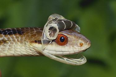 Japanese Four-lined Rat Snake (Elaphe quadrivirgata) casting off skin from the head, Ibaraki, Japan  -  Modoki Masuda/ Nature Production