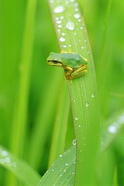 Japanese Tree Frog (Hyla japonica) on leaf after rain, Japan  -  Ryukichi Kameda/ Nature Producti