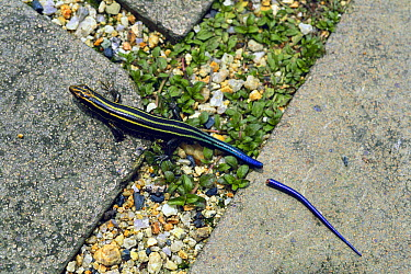 Japanese Five-lined Skink (Eumeces japonicus) juvenile with its tail cast off as a defensive behavior, Shiga, Japan  -  Shintaro Seki/ Nature Production