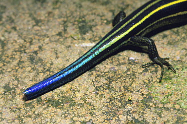 Japanese Five-lined Skink (Eumeces japonicus) tail partially missing, cast off as a defensive behavior, Shiga, Japan  -  Shintaro Seki/ Nature Production