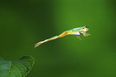 Japanese Tree Frog (Hyla japonica) jumping, Kita Kyushu, Fukuoka, Japan, sequence 3/3  -  Shinichi Takeda/ Nature Producti
