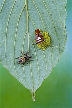 Shield Bug (Elasmucha sp) protecting eggs from Jumping Spider (Salticidae), Gunma, Japan  -  Manabu Tsutsui/ Nature Productio