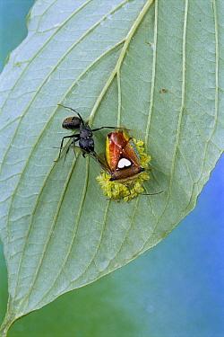 Shield Bug (Elasmucha sp) protecting eggs from Ant (Formicidae) , Gunma, Japan  -  Manabu Tsutsui/ Nature Productio