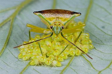 Shield Bug (Elasmucha sp) protecting larva, Gunma, Japan  -  Manabu Tsutsui/ Nature Productio