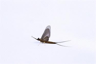 Mayfly (Isonychia sp) subimago, Gunma, Japan  -  Manabu Tsutsui/ Nature Productio