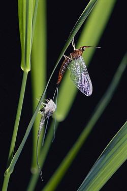 Mayfly (Isonychia sp) newly emerged from subimago, Gunma, Japan  -  Manabu Tsutsui/ Nature Productio