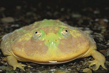 Budget Frog (Lepidobatrachus laevis)  -  Ryu Uchiyama/ Nature Production