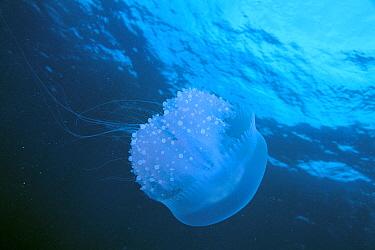 Jellyfish (Cotylorhiza sp), Chuuk, Micronesia  -  Yusuke Yoshino/ Nature Productio