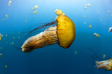 Pacific Sea Nettle (Chrysaora fuscescens) group, Carmel, Monterey Bay, California  -  Richard Herrmann