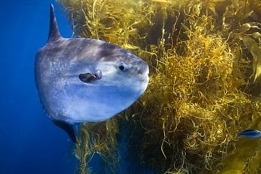 Ocean Sunfish (Mola mola) and Giant Kelp (Macrocystis pyrifera), San Diego, California  -  Richard Herrmann