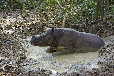 Sumatran Rhinoceros (Dicerorhinus sumatrensis) cooling off in mud wallow during midday heat, Sumatran Rhino Sanctuary, Way Kambas National Park, Indonesia  -  Suzi Eszterhas