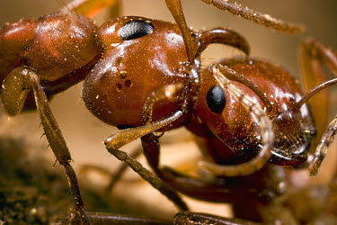 Amazon Ant (Polyergus sp) female worker positioning mandibles to pierce the head of an ant from an alien nest, Sagehen Creek, California  -  Mark Moffett