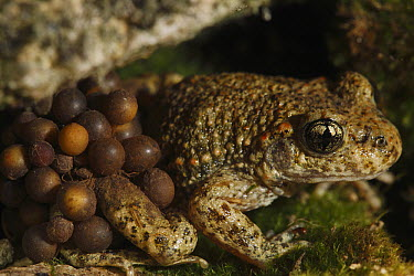 Midwife Toad (Alytes obstetricans) male carries eggs wrapped around his back legs until they hatch, Burgundy, France  -  Cyril Ruoso
