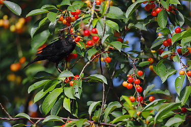 Eurasian Blackbird (Turdus merula) feeding on cherries, Picardie, France  -  Cyril Ruoso