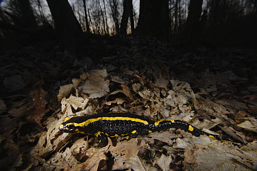 Fire Salamander (Salamandra salamandra) in forest leaf litter at night, Burgundy, France  -  Cyril Ruoso