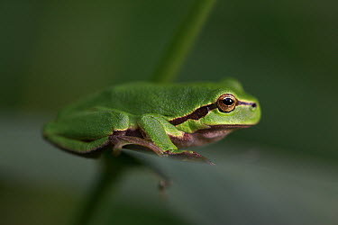 European Tree Frog (Hyla arborea) on branch, Alsace, France  -  Cyril Ruoso