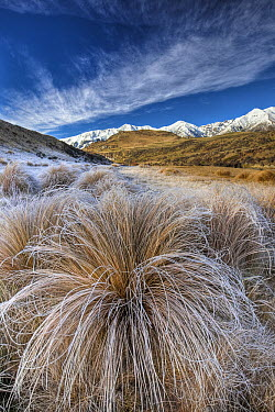 Tussock Grass (Poa flabellata) covered in frost with Torlesse Range behind, Castle Hill Basin, Canterbury, New Zealand  -  Colin Monteath/ Hedgehog House