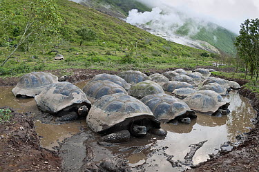 Volcan Alcedo Giant Tortoise (Chelonoidis nigra vandenburghi) group wallowing in rain pool on caldera floor, Isabella Island, Galapagos Islands, Ecuador  -  Tui De Roy